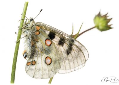 Apollon / Parnassius apollo / Apollo butterfly
