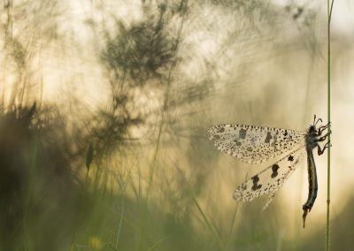 Palpares libelluloides (le Fourmilion géant)
