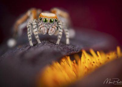 Araignée sauteuse, Saitis barbipes, mâle